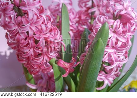 Beautiful Spring Pot Flowers With Green Leaves. Blooming Pink Hyacinthus Or Hyacinths And Colorful K