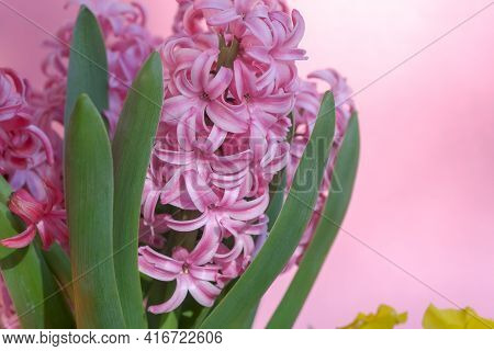 Close Up Of Beautiful Spring Flowers. Blooming Pink Hyacinthus Or Hyacinths And Colorful Kalanchoe F