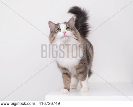 A Beautiful Gray And White Cat Sits On A White Background With A Place For Text And Looks Up. A Pet
