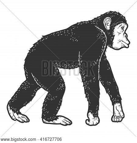 Chimpanzee Animal. Sketch Scratch Board Imitation. Black And White.