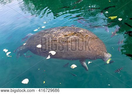 Manatee In Waters Of Crystal River National Wildlife Refuge, Florida, United States.the Caribbean Ma