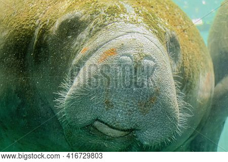 Close Up Of Manatee Eating Underwater In Crystal River National Wildlife Refuge, Florida, United Sta
