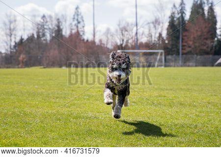 Happy Bernadoodle Dog Running In A Grassy Field.