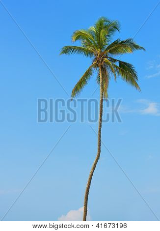 Palm Tree With The Fruit Of Coconut