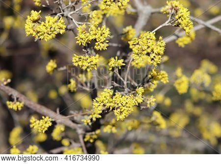 Spring Budding Cornus Mas Is Commonly Known As Dogwoods. Cornelian Cherry Or European Cornel Is A Sh