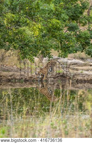 Wild Royal Bengal Tiger Drinking Water And Quenching Thirst With Reflection In Natural Scenic Enviro