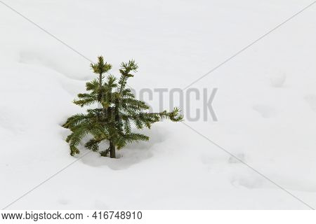 A Small Green Christmas Tree Stands Alone Among A Snowy Plain In A Field. A Coniferous Tree Sapling