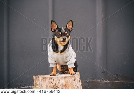 Chihuahua Dog Sits On A Stump On A Gray Background In A Gray Sweatshirt. Black Dog