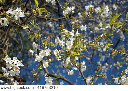 White Blossoms On A Tree In In Spring Time In Vaduz In Liechtenstein 4.4.2021