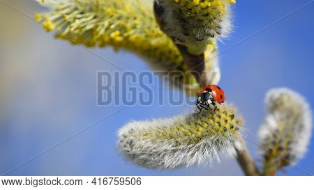 Ladybug On The Blossoming Willow Close Up. Spring Card, Solar Mood, Revival Of Life. Red Beetle On Y
