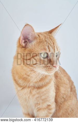 Cute Domestic Orange Color Cat Sitting Relaxing On Gray Background Looking Off The Camera. Feline Or