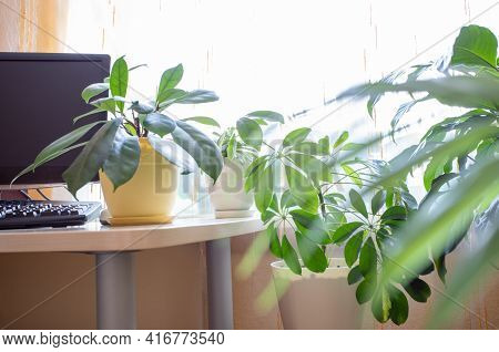 Home Comfortable Workplace With Computer And Green House Plants Near Window Close Up.