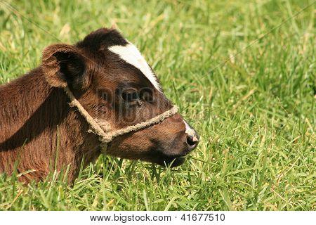 Calf with a Halter