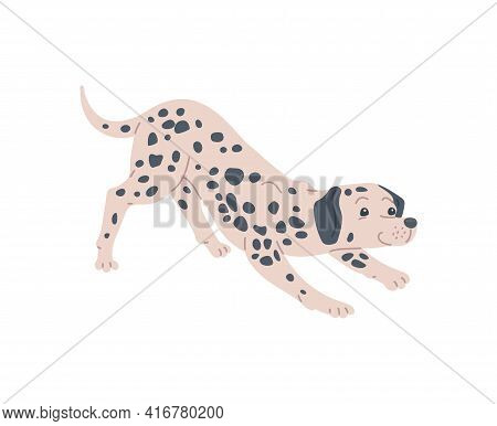 Dog Dalmatian Breed With Pedigree, Cute Pet Animal In Black Spots.