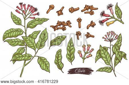 Clove Ingredients - Flowers, Leaves, Branch And Buds A Vector Isolated Set.