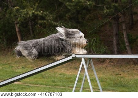 Dog Bearded Collie In Agility Balance Beam.  Amazing Day On Czech Agility Competition. They Are Midd