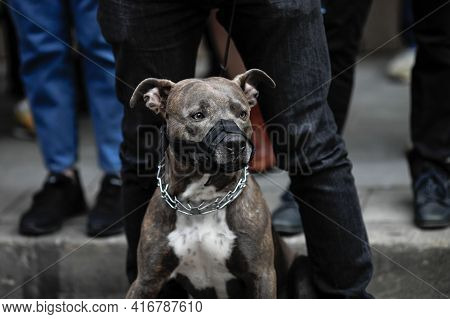 Shallow Depth Of Field (selective Focus) Image With A Pitbull Wearing A Muzzle Together With A Group