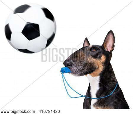 Referee Arbitrator Umpire Bull Terrier Dog Blowing Blue Whistle In Mouth ,  Isolated On White Backgr