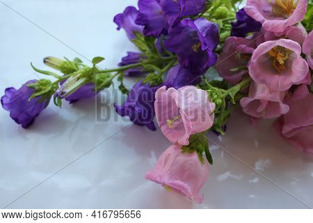 Bunch Of Campanula Champion Pink, Purple Canterbury Bells, Or Bellflower On White Background. Close-