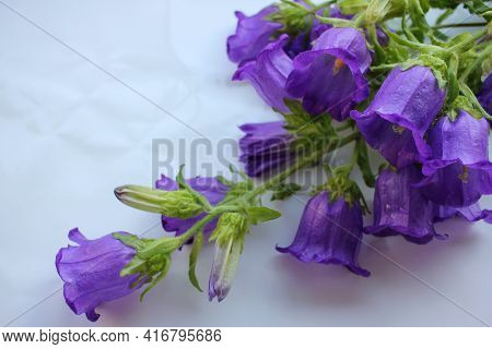 Bouquet Of Purple Campanula Champion, Canterbury Bells, Or Bellflower On White Background. Close-up