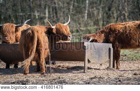 Scottish Highland Cattle. Animals Near Their Feeder.