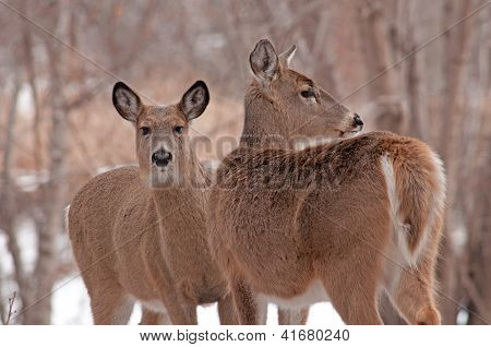 Pair of white-tailed deer