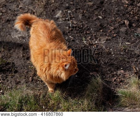 A Stray Ginger Cat Standing Outside On Dirt And Looking Around. Close Up