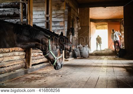 The Stable Girl Came To The Stable To Feed The Horses, They Are Waiting