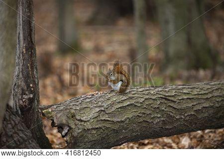 American Red Squirrel ((tamiasciurus Hudsonicus) Known As The Pine Squirrel, North American Red Squi