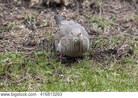 The Mourning Dove (zenaida Macroura) Also Known As The American Mourning Dove, The Rain Dove, And Co