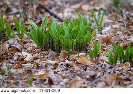 Wild Ramps - Wild Garlic ( Allium Tricoccum), Commonly Known As Ramp, Ramps, Spring Onion,  Wild Lee