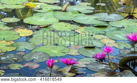 Peaceful Nature With Lotus Water Pond On Nature Pond