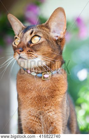 Portrait Of An Abyssinian Cat  In Collar. High Quality Advertising Stock Photo. Pets Walking In The