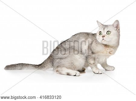 Watchful Cat Of The Scottish Breed Stares Sitting On A White Background.  Isolated Cat, Studio Photo