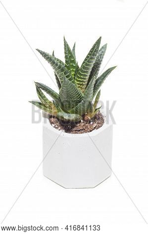 Succulent Haworthia House Plant In Pot Isolated On White Background