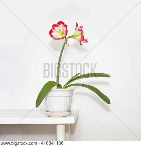 Houseplant Amaryllis On The Table. Hypeastrum Red And White