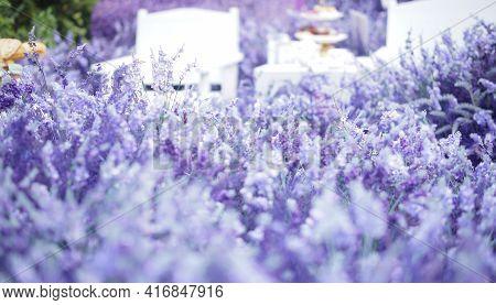 Blooming Lavender Flower Field Garden. Purple Violet Flora