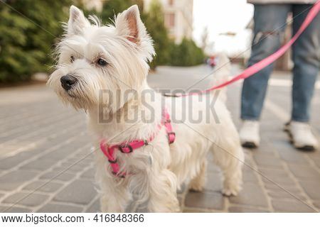 Adorable West Highland White Terrier Dog On Sidewalk Outdoors.