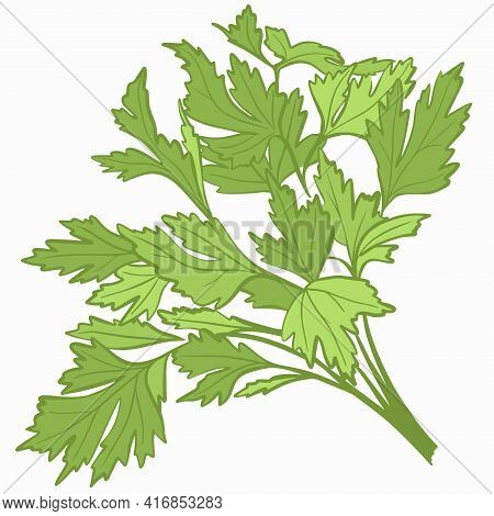 A Bunch Of Parsley. Fresh Greens, Plants. Seasoning For The Preparation Of Various Dishes. Healthy F