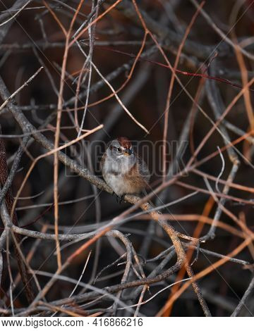 Close up shot of American sparrow bird on tree branches