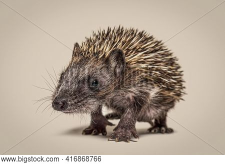 Young European hedgehog coming to the camera, Walking