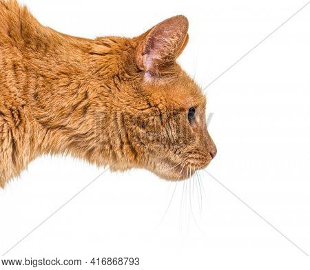 Portrait profile head shot ginger cat, isolated