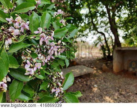 Closeup of beautiful and colorful Pongamia Pinnata or Honge Mara Flower texture and background