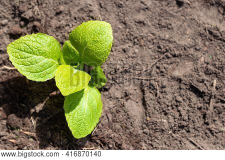 Small Green New Plant In Ground, Growing Young Plant In Earth, New Life,gardening,spring,seedling,na
