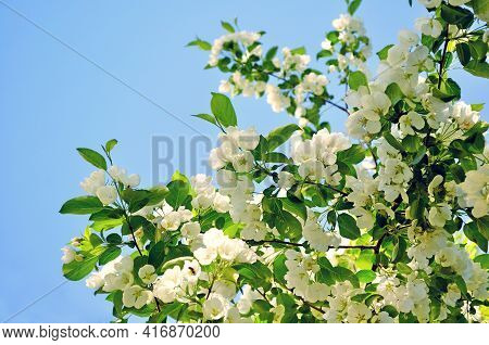 Spring apple flowers on the background of blue spring sky, spring background.Blooming spring apple tree. Soft focus processing. Spring garden,spring apple, spring blossom, spring outdoors,blooming spring apple tree,