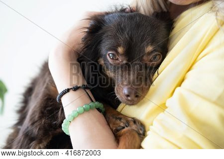Woman Holding Sad Devoted Brown Russian Toy Terrier