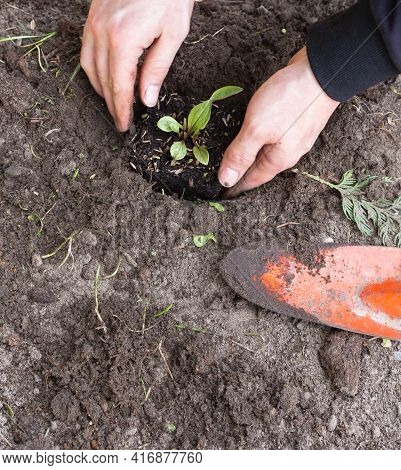 Two Man Hands Planting A Young Tree Or Plant While Working In The Garden, Seeding And Planting And G