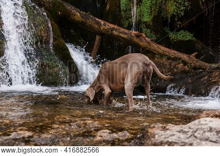 Weimaraner Dog Sniffs And Tracks In A River In The Middle Of The Forest.