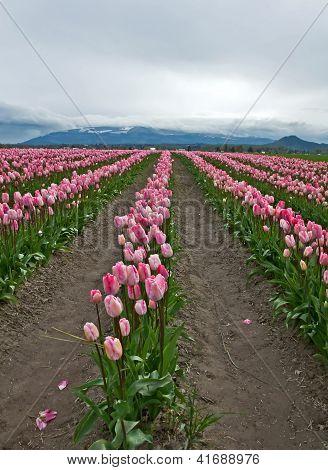 Large Pink Tulip Field