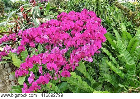 Inflorescence Of Bright Pink Orchids Among Tropical Vegetation. Graceful Delicate Flowers And Lush G